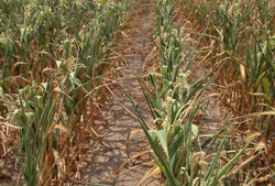drought-corn
