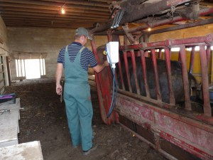 Our veterinarian giving vaccinations to a steer.
