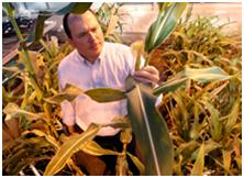 purdue-corn