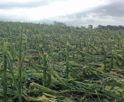 corn-damage